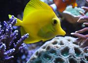 180Reefer's Bowfront Reef-yellow-tang.jpg