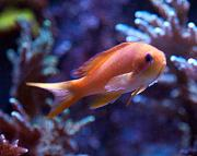 Binford4000's Beautiful Reef-anthias-binford4000-reef-month.jpg