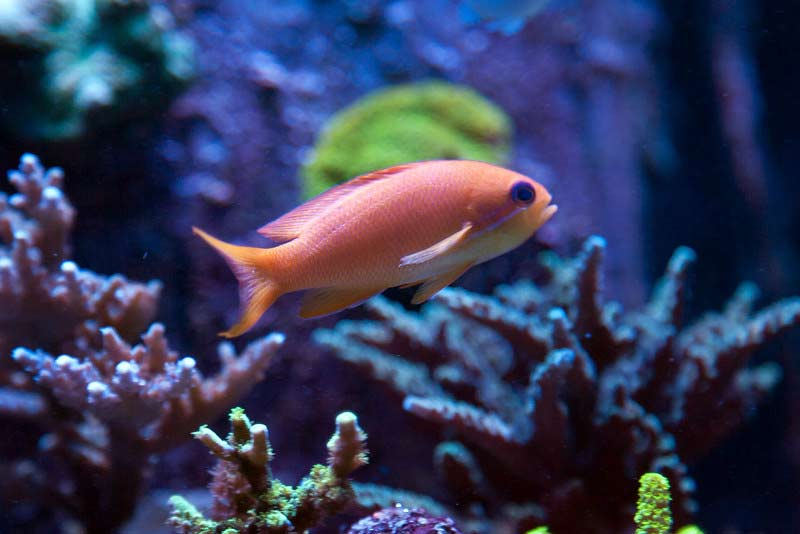 Name:  anthias2.jpg