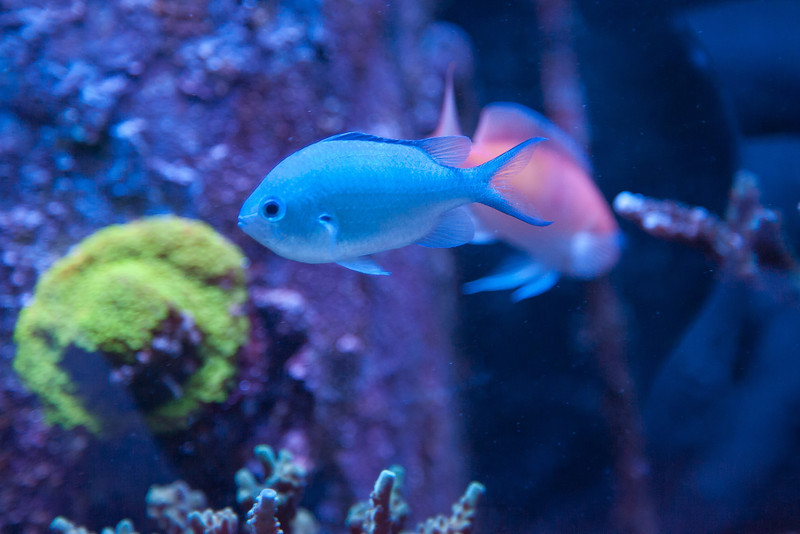 Name:  chromis.jpg