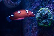 Binford4000's Beautiful Reef-coris-wrasse.jpg