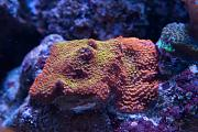 Binford4000's Beautiful Reef-rainbow-montipora.jpg