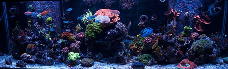 Coral Reef Aquarium - Featured Reef Aquariums - Binford4000's Beautiful Reef