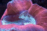 Binford4000's Beautiful Reef-wellsophylia.jpg