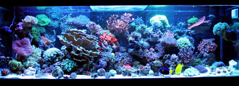 Coral Reef Aquarium - Featured Reef Aquariums - Daddybiggs' Mixed Reef