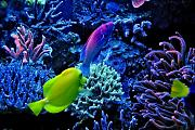 Daddybiggs' Mixed Reef-fairy-wrasse.jpg