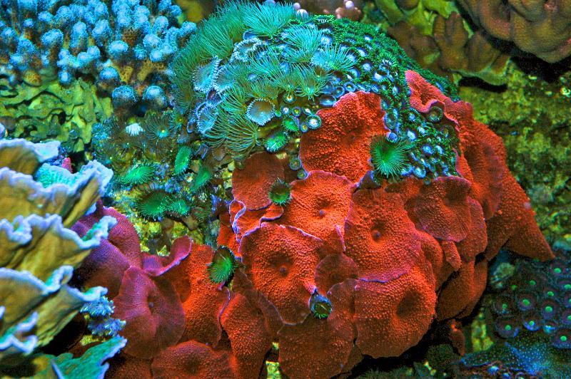 Name:  red-mushroom-coral.jpg Views: 3113 Size:  125.3 KB