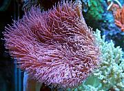 Daddybiggs' Mixed Reef-toadstool-leather-coral.jpg