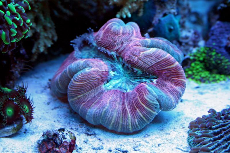 Name:  trachyphyllia.jpg