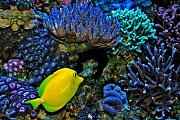 Daddybiggs' Mixed Reef-yellow-tang.jpg