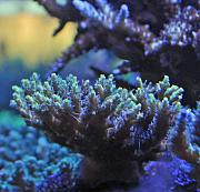 DBarsotti's SPS Jungle-acro2.jpg