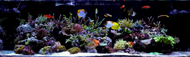Coral Reef Aquarium - Featured Reef Aquariums - Dejavu's Angelic Reef