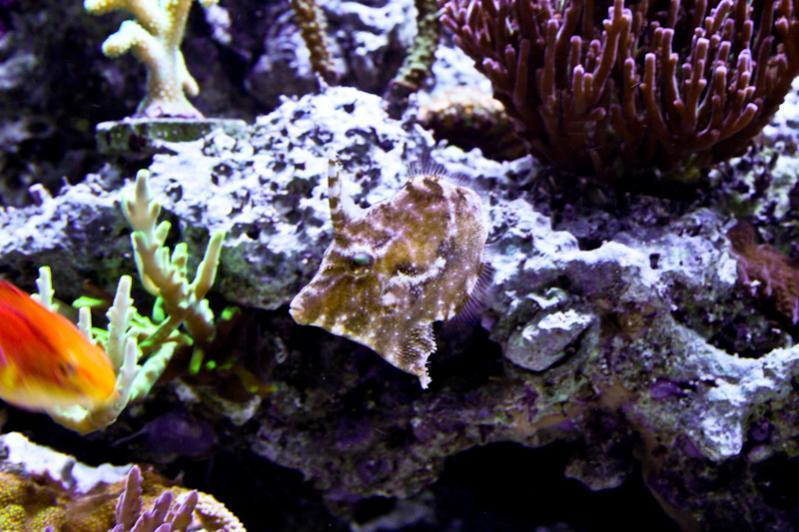 Name:  matted-filefish.jpg Views: 1028 Size:  78.4 KB