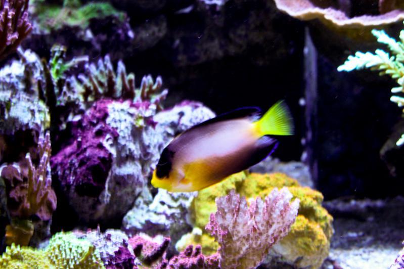 Name:  multicolor-angelfish.jpg Views: 1236 Size:  64.8 KB