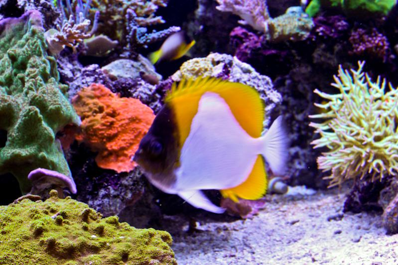 Name:  yellow-pyramid-butterfly.jpg Views: 1308 Size:  86.9 KB