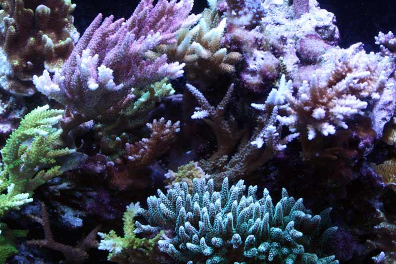 Name:  sps-corals.jpg Views: 673 Size:  71.6 KB
