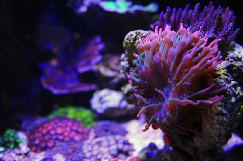 Name:  RBTA-rainbow-anemone.jpg Views: 915 Size:  51.0 KB