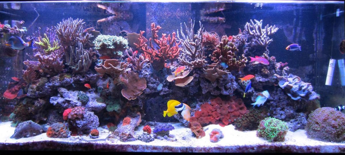 ... Reef Aquarium - Featured Reef Aquariums - Gabletts Gorgeous Reef
