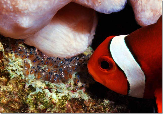 Name:  clownfish-eggs.jpg