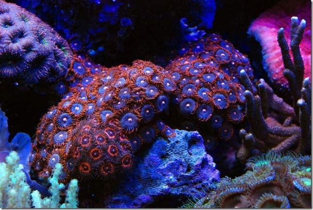 Name:  fire-and-ice-zoanthids.jpg Views: 1554 Size:  65.0 KB