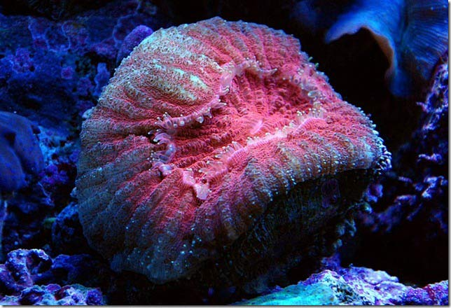 Name:  lobophylia.jpg