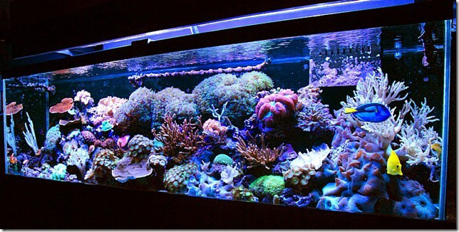 Coral Reef Aquarium - Featured Reef Aquariums - Luisgo's 125g  Coral Garden