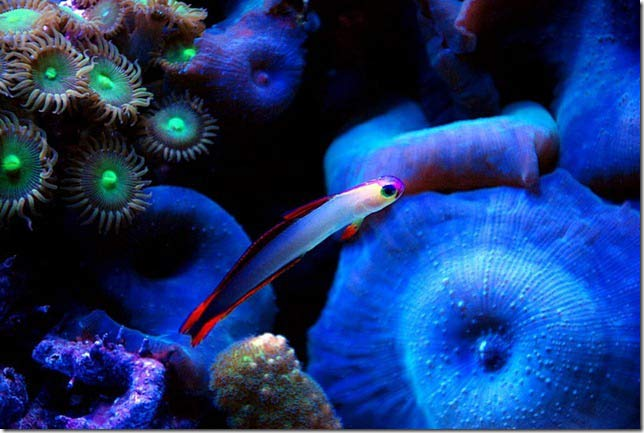 Name:  purple-firefish.jpg