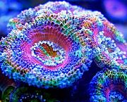 Manoj's Mixed Reef-manoj-acan3.jpg