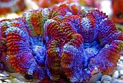 Manoj's Mixed Reef-manoj-acan4.jpg