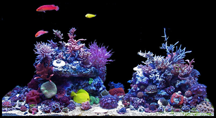Coral Reef Aquarium - Featured Reef Aquariums - Manoj's Mixed Reef