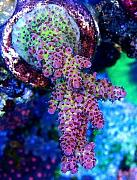Manoj's Mixed Reef-manoj-redplanet.jpg