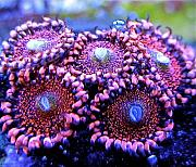 Manoj's Mixed Reef-manoj-redwine-zoas.jpg