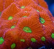 Manoj's Mixed Reef-manoj-warcoral.jpg