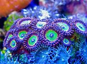 Manoj's Mixed Reef-manoj-zoos2.jpg