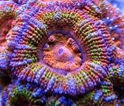 Mrs. Binford's Beautiful Reef-acan-rainbow.jpg