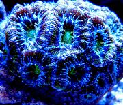 Mrs. Binford's Beautiful Reef-green-acan-lords.jpg