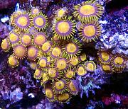 Mrs. Binford's Beautiful Reef-king-midas-zoanthids.jpg