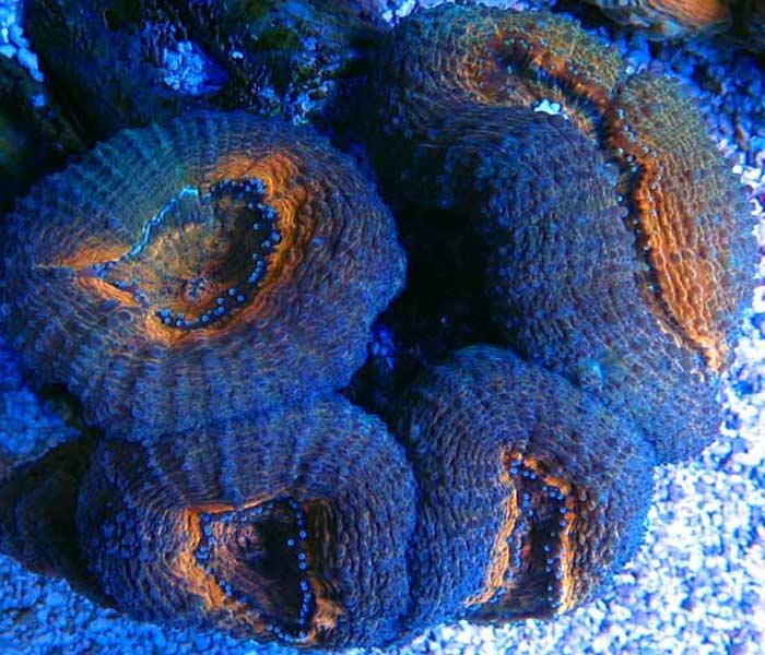 Name:  orange-purple-lobo.jpg Views: 777 Size:  76.1 KB