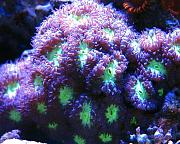 Mrs. Binford's Beautiful Reef-purple-green-blastomussa.jpg