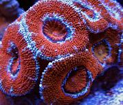 Mrs. Binford's Beautiful Reef-red-acans.jpg