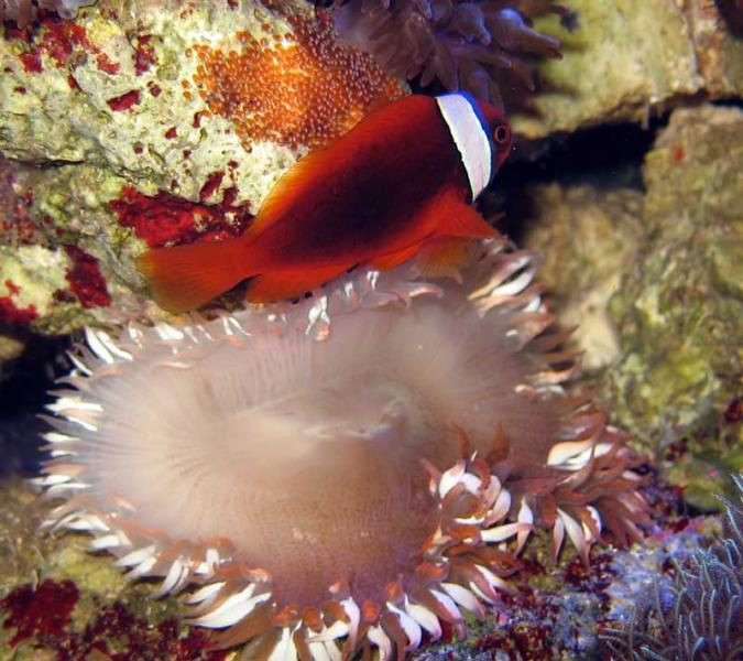 Name:  tomato-clownfish-eggs.jpg Views: 959 Size:  69.4 KB
