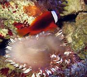 Mrs. Binford's Beautiful Reef-tomato-clownfish-eggs.jpg