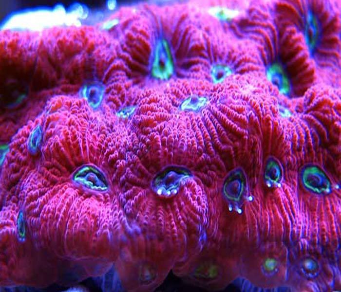 Name:  war-coral-favia.jpg Views: 1065 Size:  76.9 KB