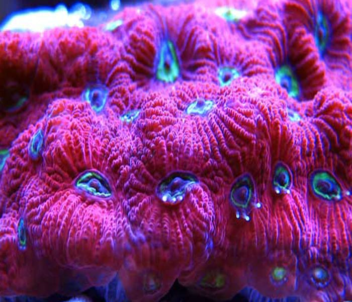 Name:  war-coral-favia.jpg Views: 880 Size:  76.9 KB