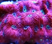 Mrs. Binford's Beautiful Reef-war-coral-favia.jpg