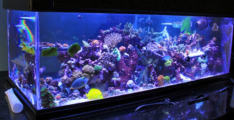 Coral Reef Aquarium - Featured Reef Aquariums - Myteemouse's Blue Room