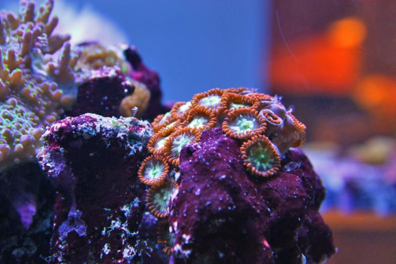 Name:  searchlight zoas.jpg