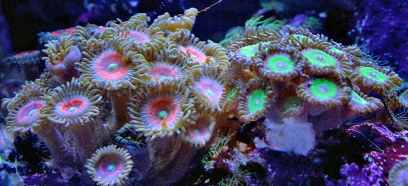 Name:  zoas.jpg
