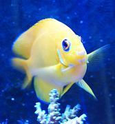 PJR's 135g Awesome LED Reef-lemon-angel.jpg