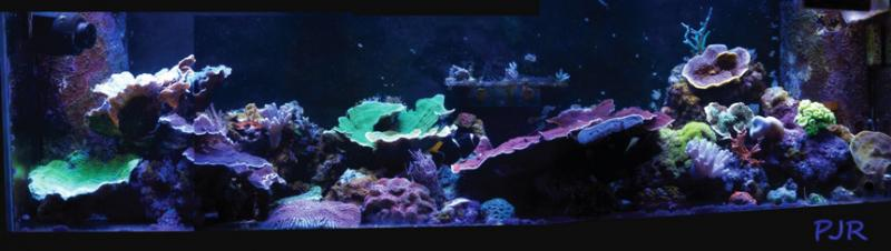 Coral Reef Aquarium - Featured Reef Aquariums - PJR's 135g Awesome LED Reef